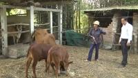 Hiệu quả từ dự án chăn nuôi bò Heifer